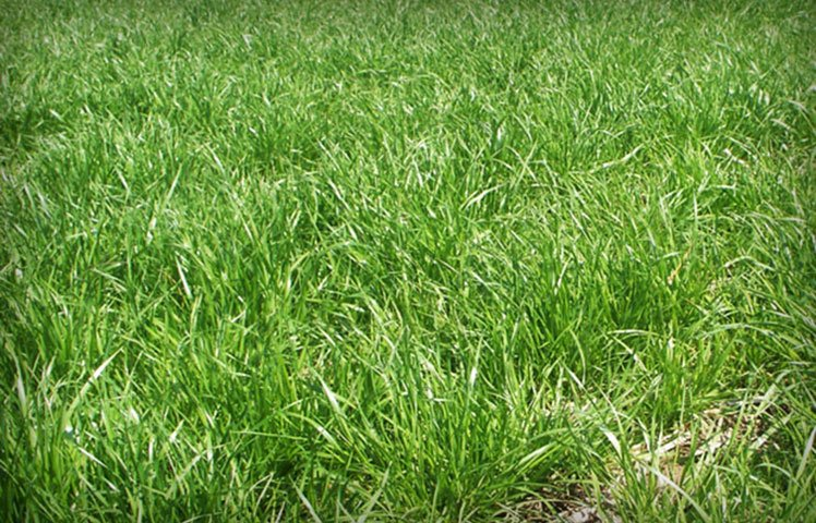 Forage and Turf Grass Seed