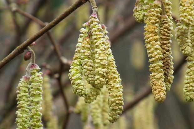 Hazelnuts Oregon Agriculture In The Classroom