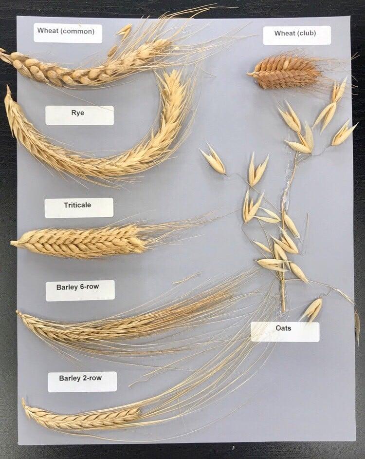 13046Cereal Grain Types & Varities